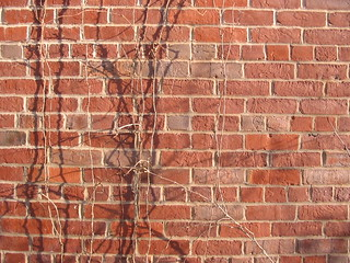 Vines on Brick Wall | by Chris Campbell