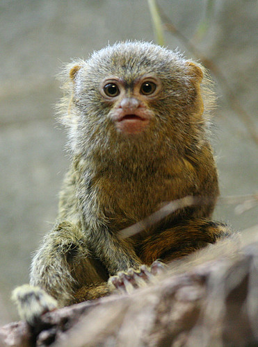 Pygmy Marmoset | by Dries Arnolds