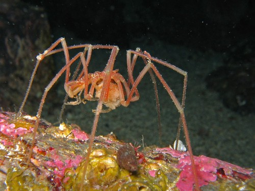 Sea spider / Havedderkopp | by asbjorn.hansen