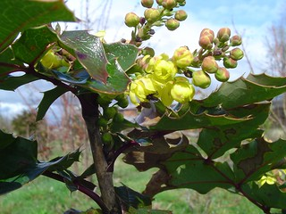Oregon Grape Starting to Bloom | by born1945