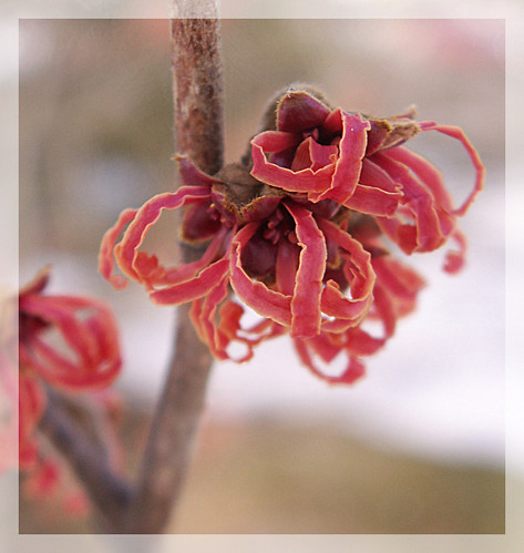 Red Witch Hazel | by solglimt/sungleam