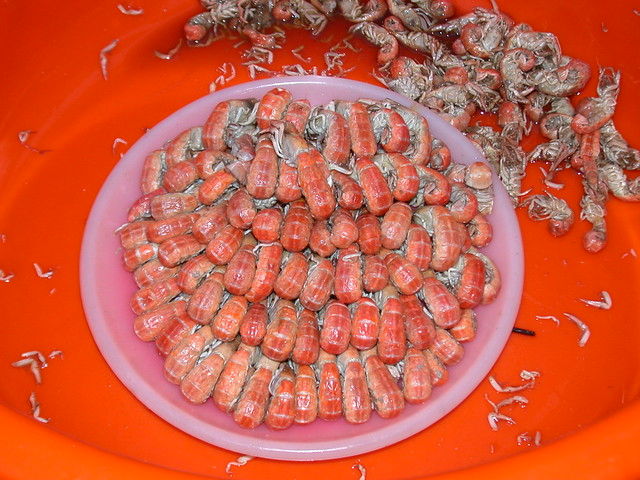 螻蛄蝦。攝影:蔡嘉陽。