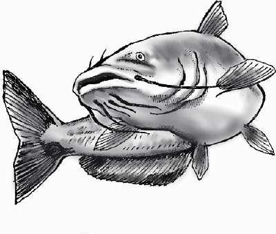 catfish drawing drainhook flickr catfish clip art images catfish clipart b&w