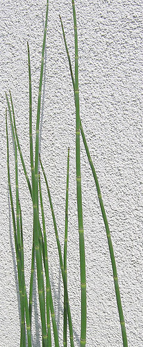 snake grass | by manyfires