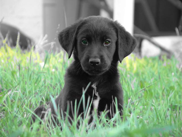 Lab Puppy Weight Chart: Brady Lake Ohio | Black Lab Puppy | Jeff Futo | Flickr,Chart