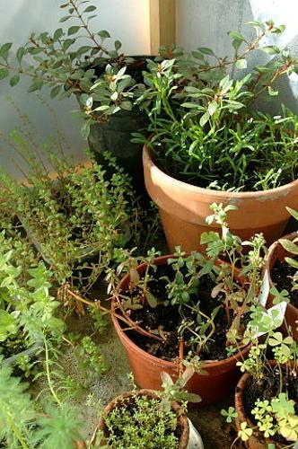 Invernadero de plantas acuaticas i macetas en el Plantas de invernadero