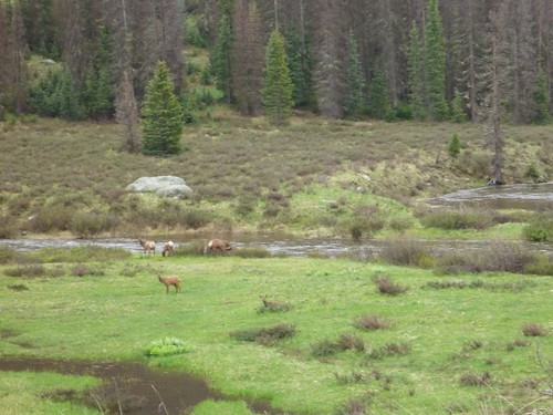 More elk!