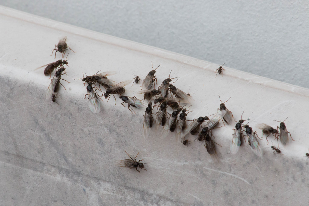 Flying Ants New Ant Queens Have Donned Their Temporary
