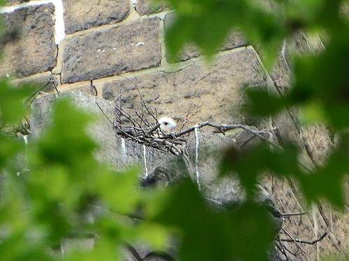 Cathedral Hawk Nestling - 4425