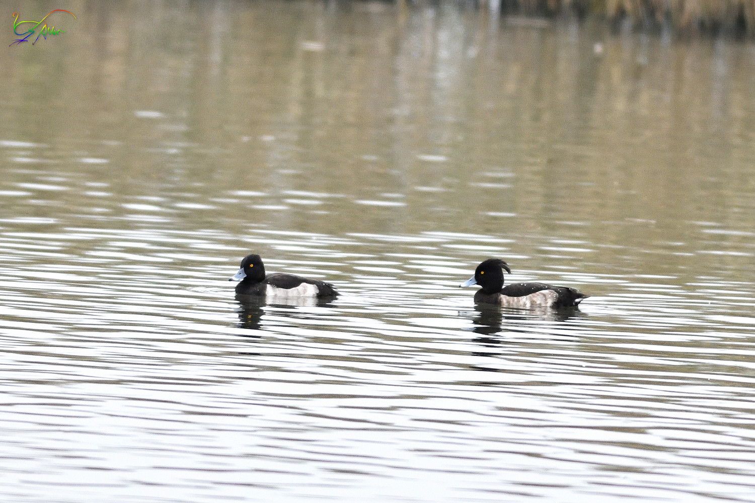 Tufted_Duck_4395