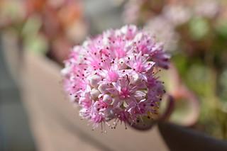 DSC_0025 Sedum sieboldii (=Hylotelephium sieboldii) ミセバヤ