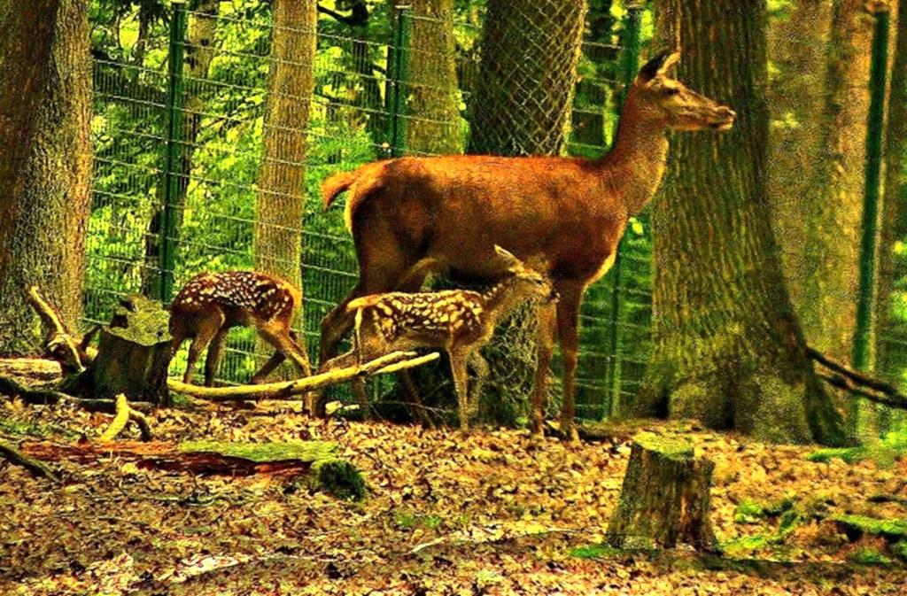 Wildpark, Pforzheim,Hirschkuh mit Jungen, 5268