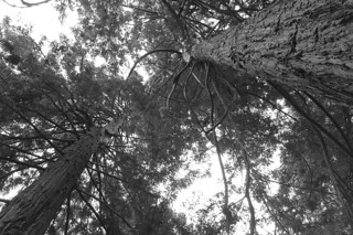 SF Botanical Garden - Redwood Cove looking up