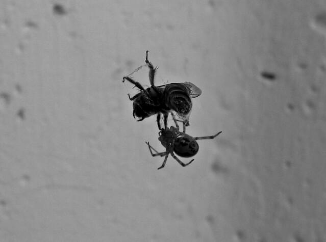 spider vs. bee