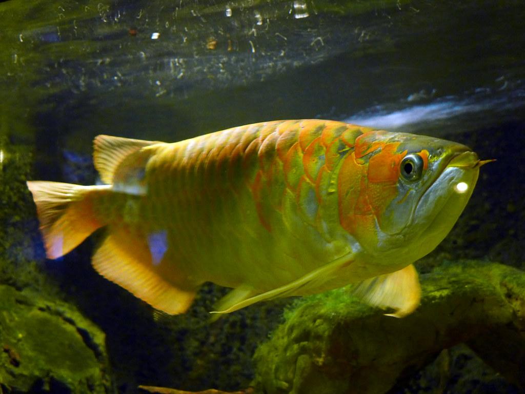 Fish aquarium in niagara falls - Arowana Fish Aquarium Niagara Falls N Y By Jcm
