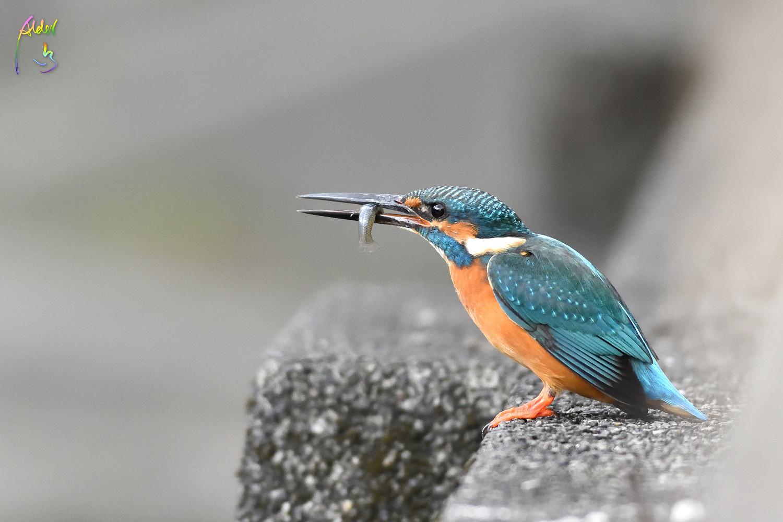 Common_Kingfisher_0812