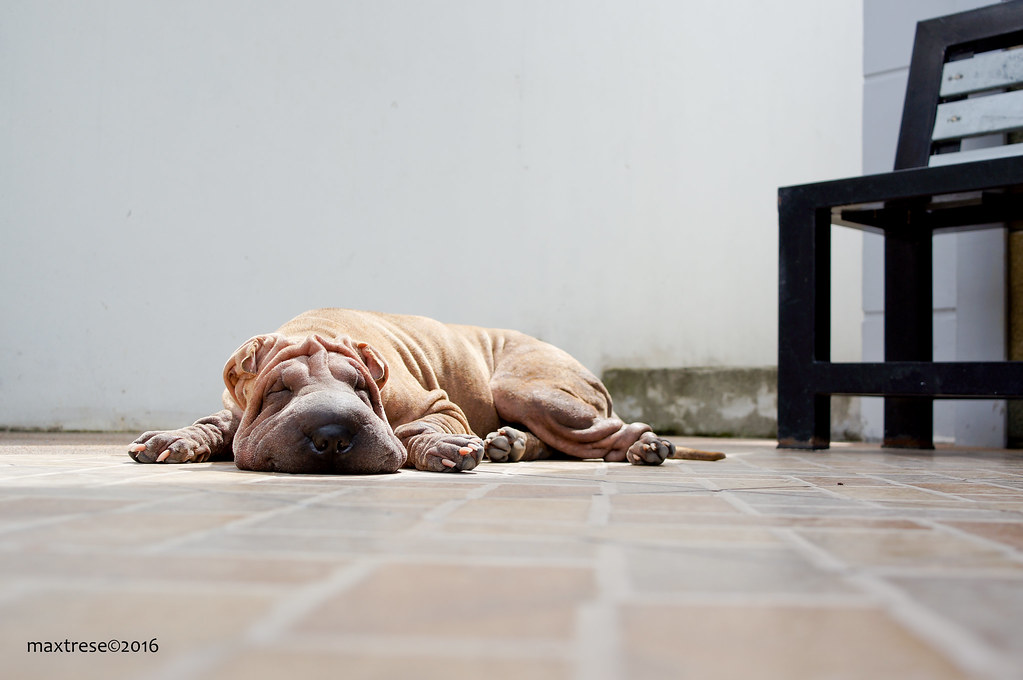 Chinese Sharpei dog, Kiwi, sleeping