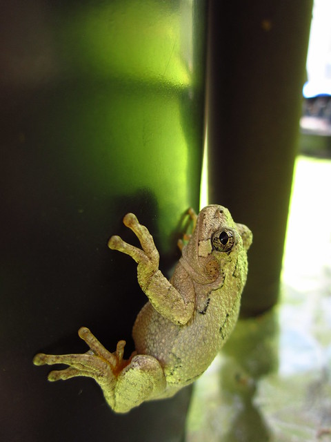 Tree Frog #3
