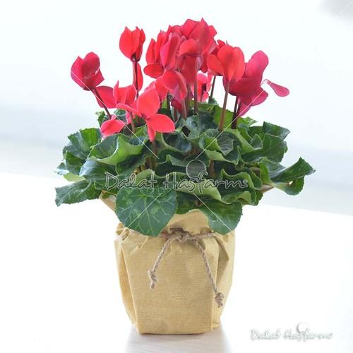 hoa anh thảo đẹp mừng sinh nhật