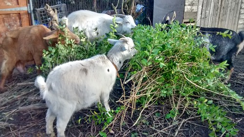 goats eating privet Jan17