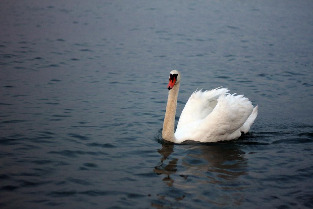 lake garda swan