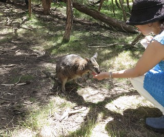 Hand-feeding a Pademelon