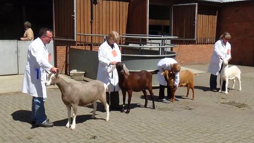 Bill Quay Goat Show June 15 (17)