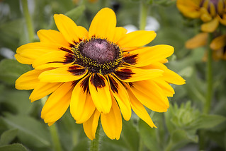 rudbeckia | by Muffet