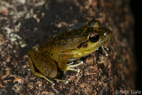 Lesueur's frog (Litoria lesueurii) | by Nick Gale