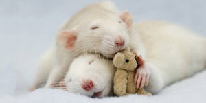 Sleeping Rats