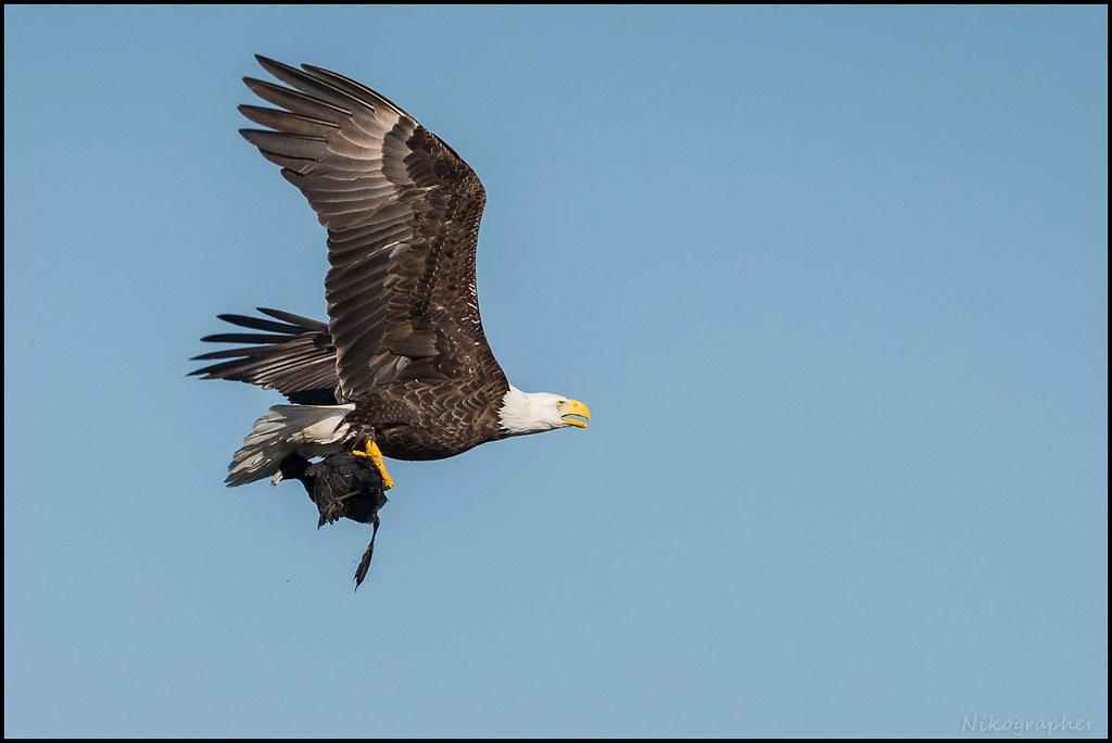 Bald Eagle @ Merritt Island NWR, FL w/ Coot