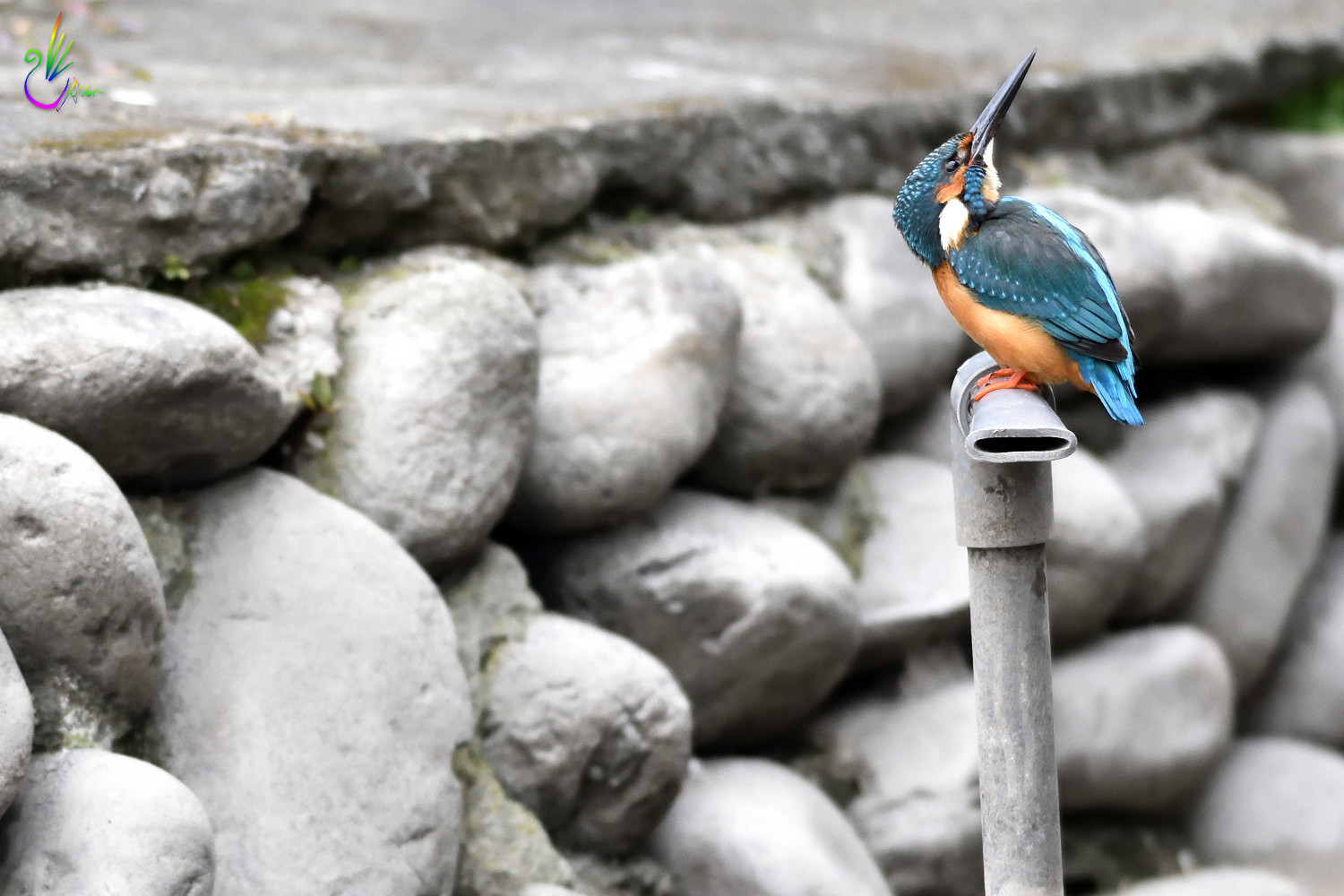 Common_Kingfisher_1007