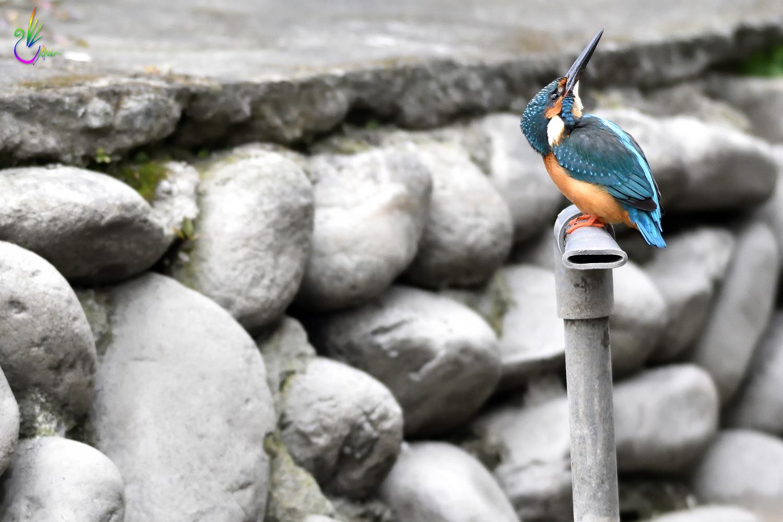 Common_Kingfisher_1007