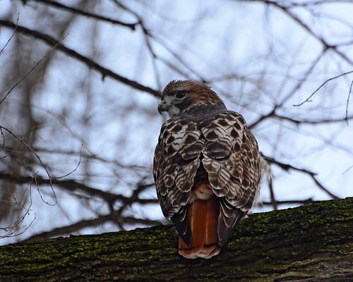 Hunting Hawk - 1237