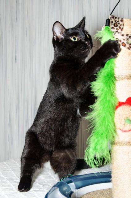 Morgana, gatita negra monísima, juguetona y tímida esterilizada, nacida en Julio´16, en adopción. Valencia. ADOPTADA. 32026328143_f84fc61f77_z