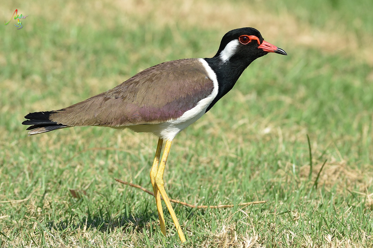 Red-wattled_Lapwing_8896