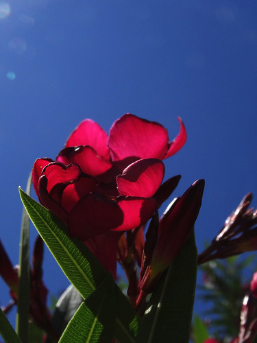 Oleander 'hardy red' | by Leveridge_Landscape_Design