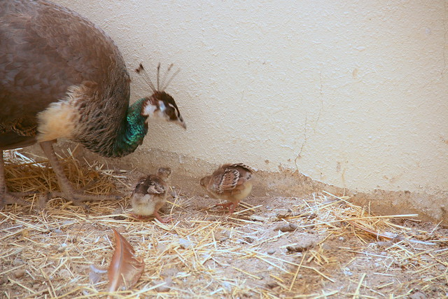 peahen and peachicks