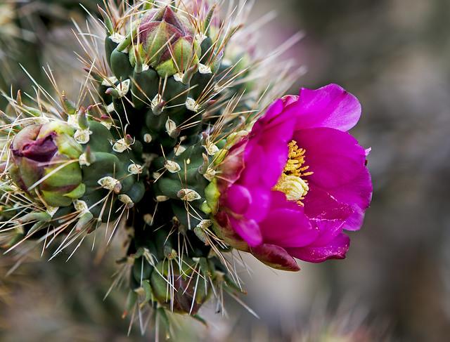 Cactus Bloom 7d_2175