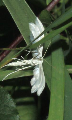 Large White Plume 9498