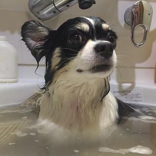 犬風呂の日。まずはさすけ。