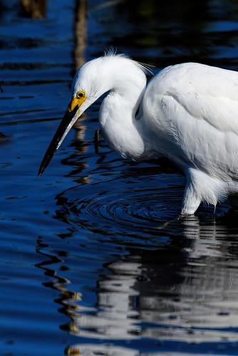 Merritt Island NWR: Snowy Egret as Narcissus