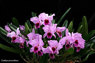 Cattleya percivaliana | by emmily1955