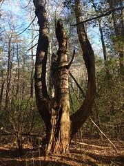 Pitchfork Tree