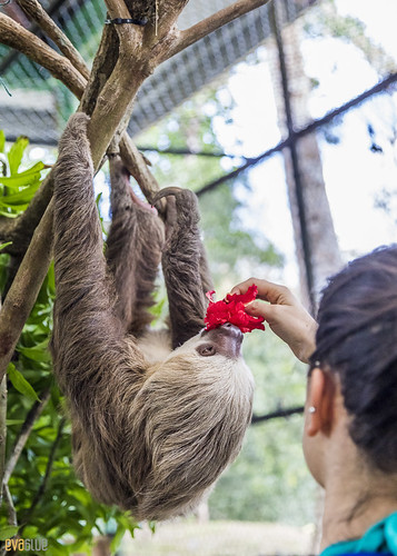 Hoffmann's two-toed sloth Gamboa Wildlife Rescue pandemonio 2017 - 25 | by Eva Blue