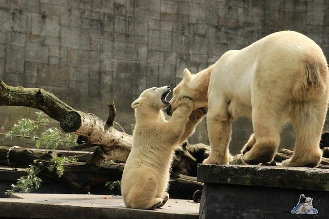 Eisbär Fiete im Zoo Rostock  23