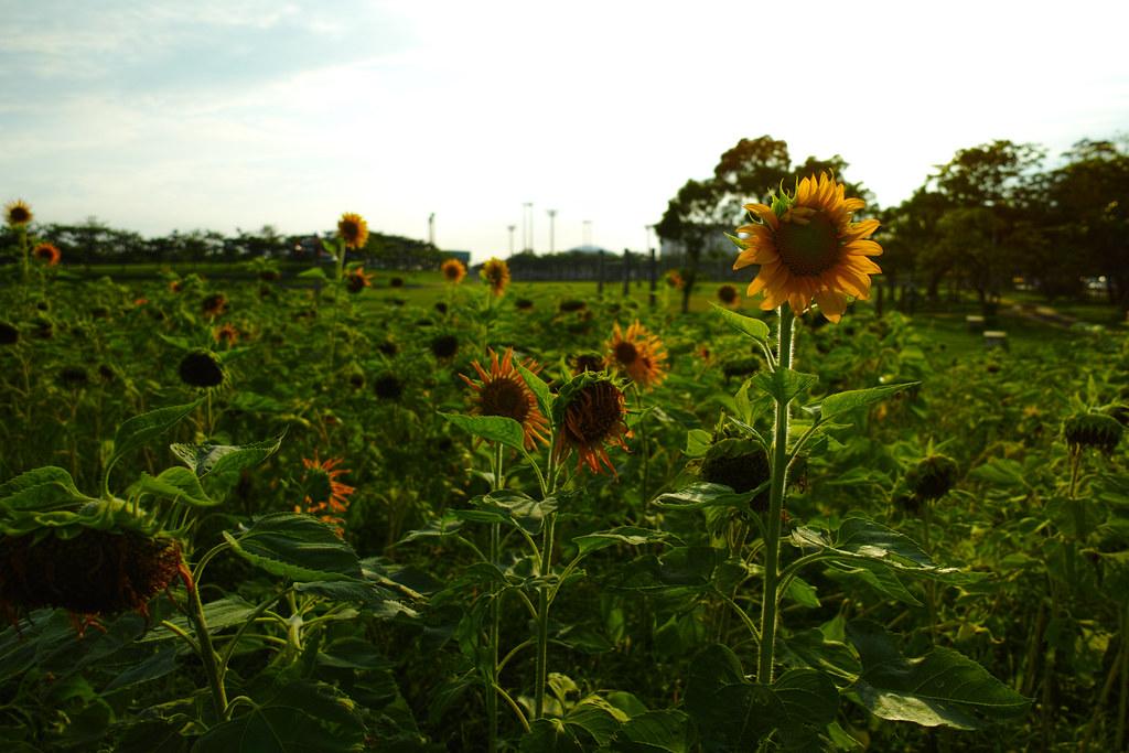 沖縄の向日葵