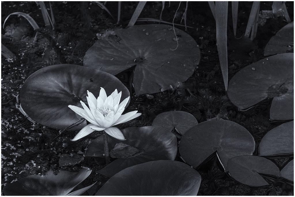 Water lily merrifield garden center fairfax va bruce - Merrifield garden center fairfax va ...