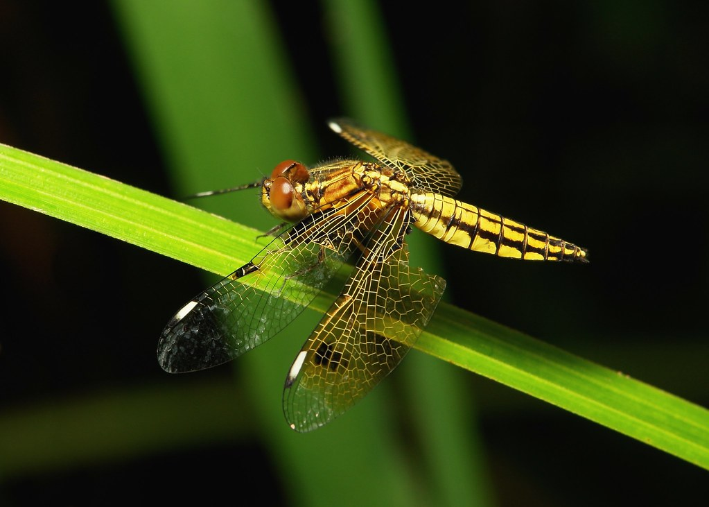 Female Asian Widow or Blue-Tailed Yellow Skimmer (Palpopleura sexmaculata)