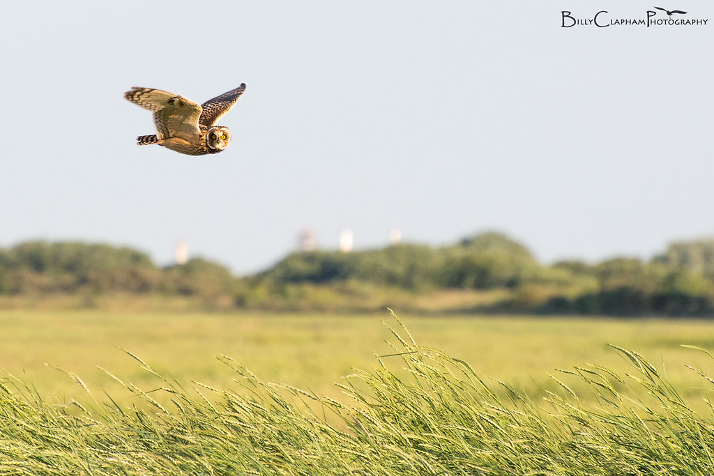 Short eared owl, hunting, salt marsh, rimac, lincolnshire, coast